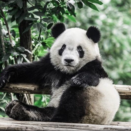 A panda is sitting on the logs